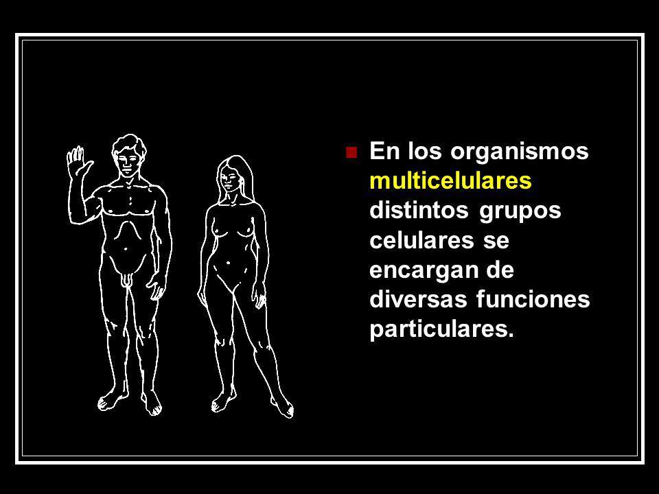 En los organismos multicelulares distintos grupos celulares se encargan de diversas funciones particulares.