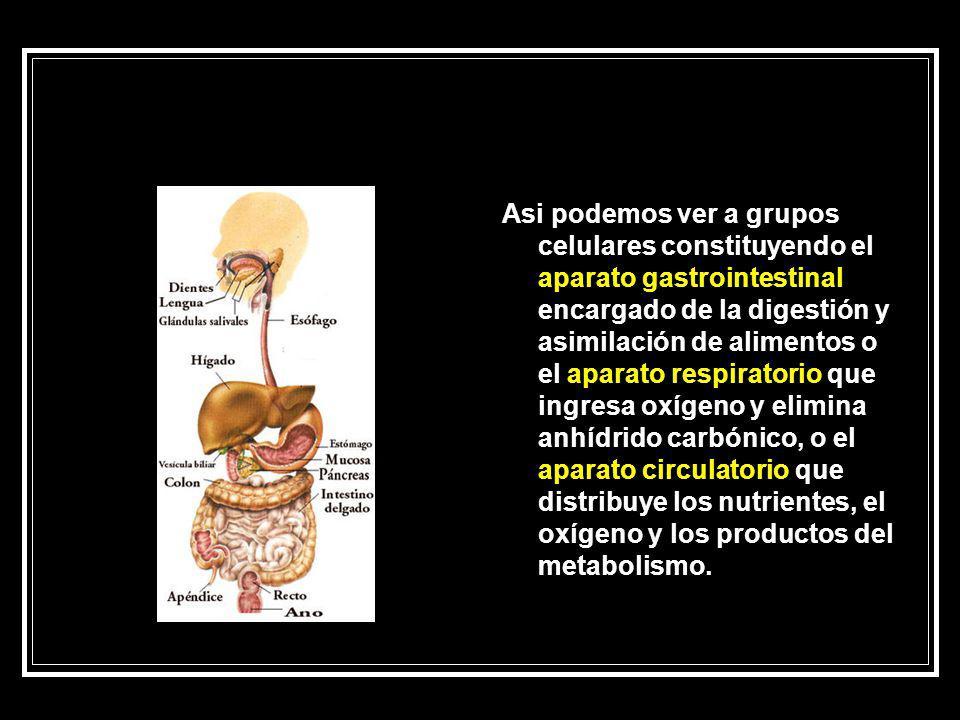 Asi podemos ver a grupos celulares constituyendo el aparato gastrointestinal encargado de la digestión y asimilación de alimentos o el aparato respiratorio que ingresa oxígeno y elimina anhídrido carbónico, o el aparato circulatorio que distribuye los nutrientes, el oxígeno y los productos del metabolismo.