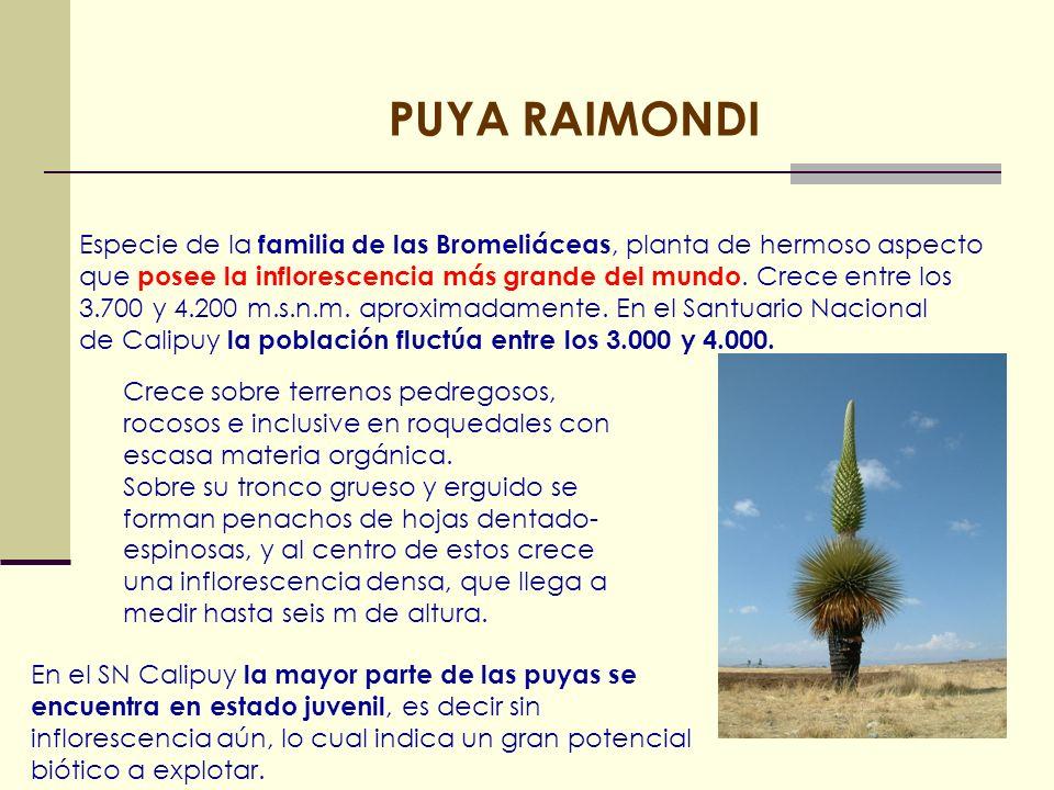 PUYA RAIMONDI Especie de la familia de las Bromeliáceas, planta de hermoso aspecto.