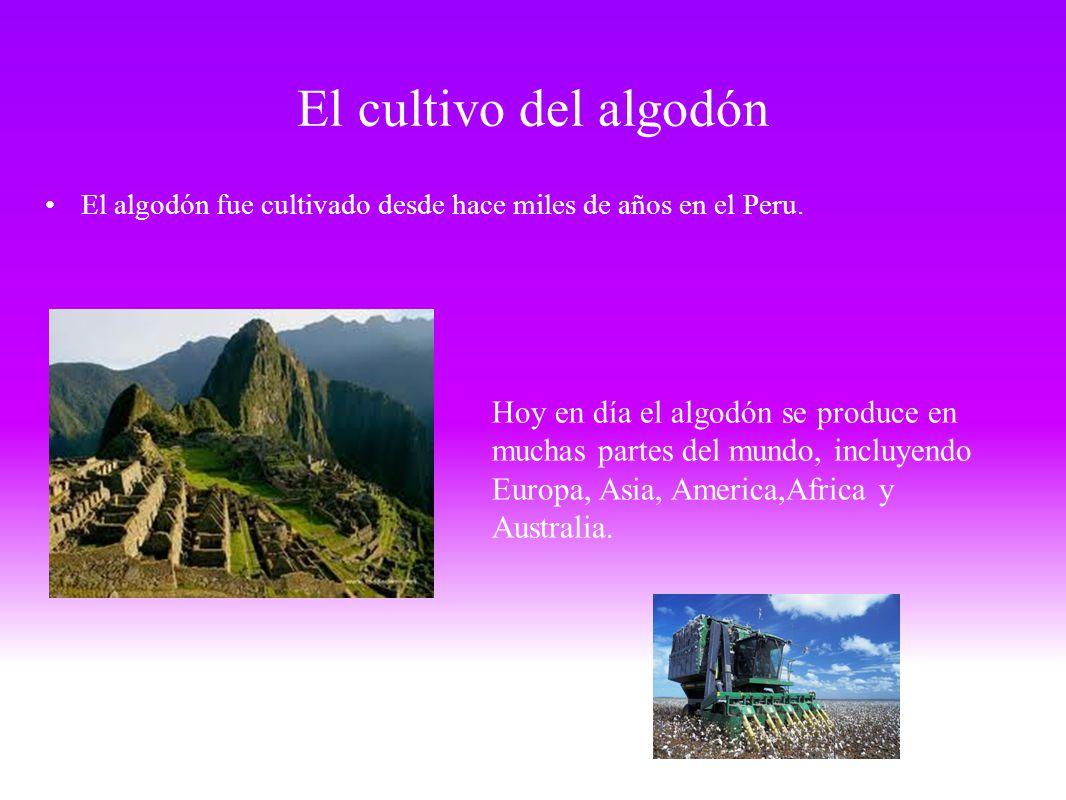 El cultivo del algodón El algodón fue cultivado desde hace miles de años en el Peru.