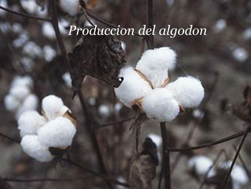 Produccion del algodon