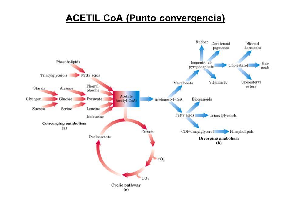 ACETIL CoA (Punto convergencia)