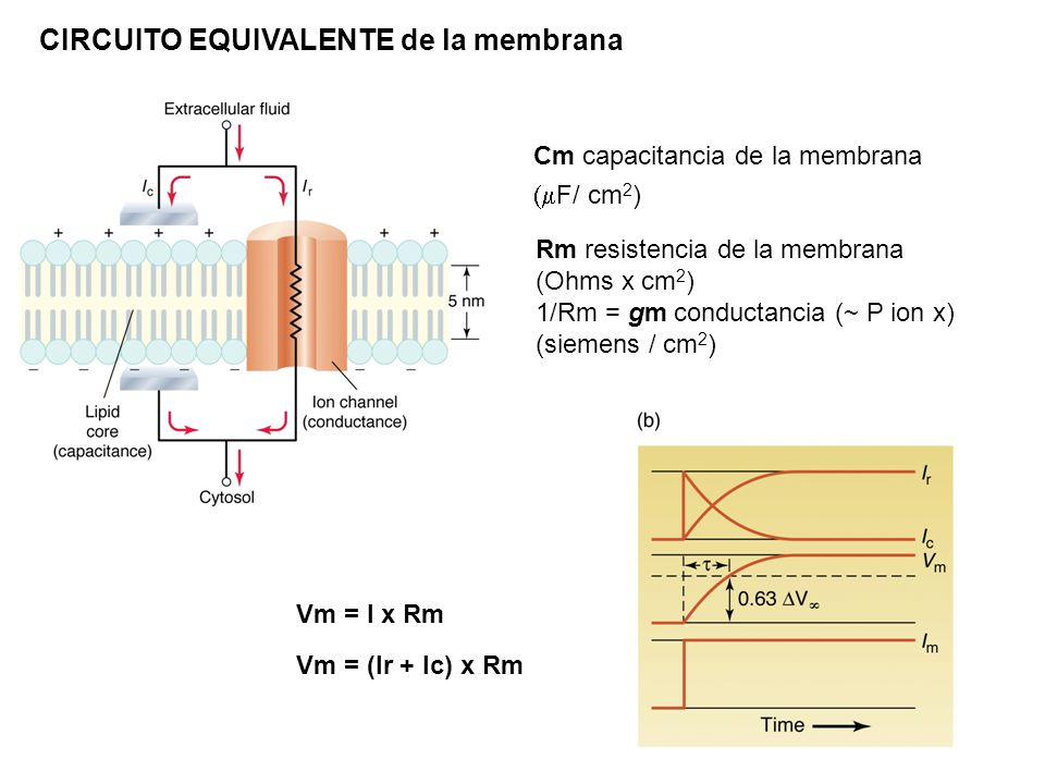 CIRCUITO EQUIVALENTE de la membrana