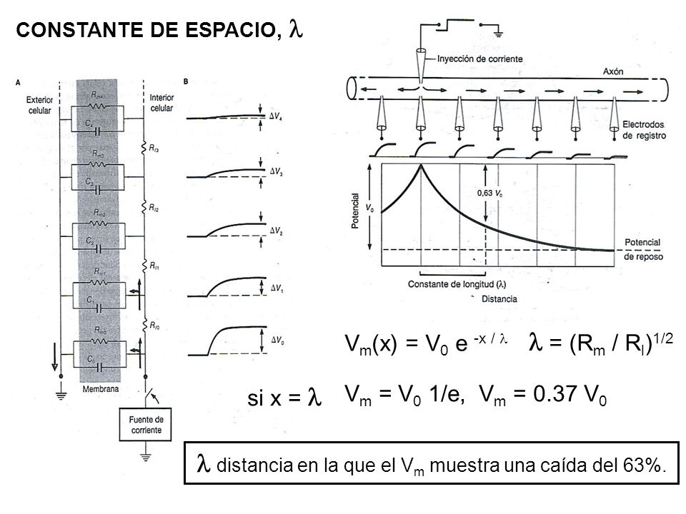 l = (Rm / Rl)1/2 Vm(x) = V0 e -x / l si x = l