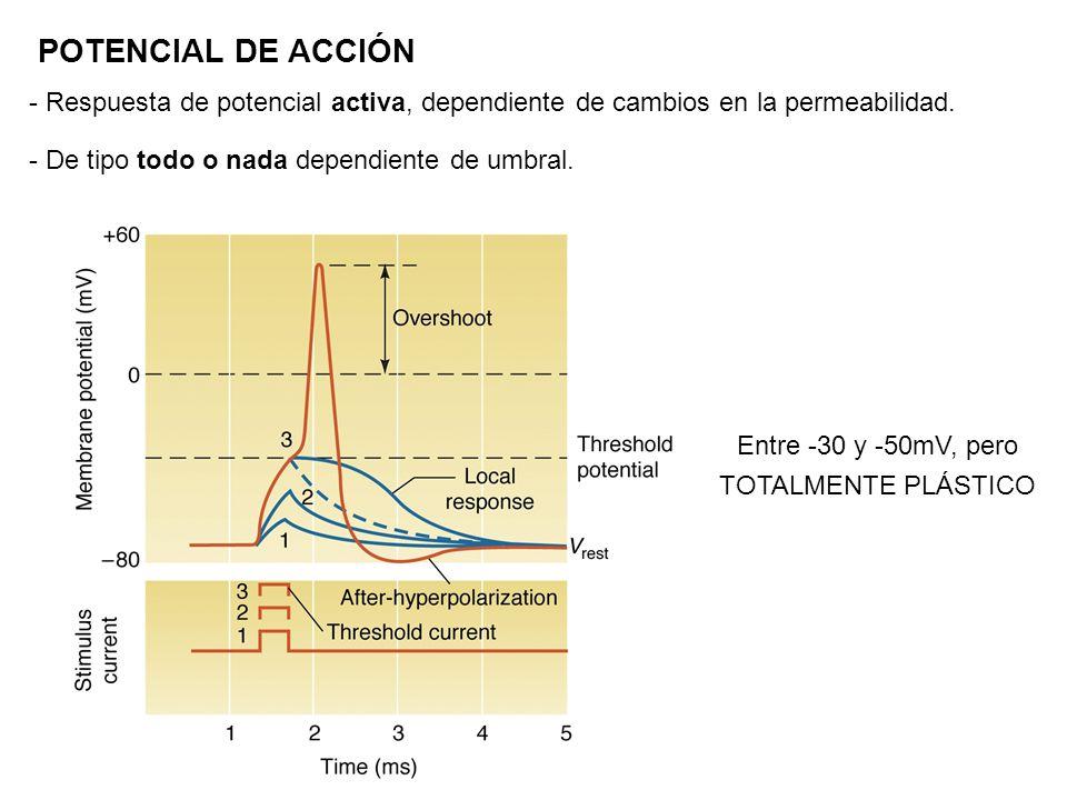 POTENCIAL DE ACCIÓN - Respuesta de potencial activa, dependiente de cambios en la permeabilidad. - De tipo todo o nada dependiente de umbral.