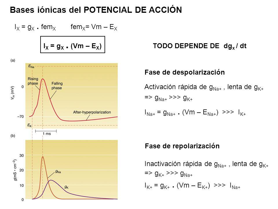 Bases iónicas del POTENCIAL DE ACCIÓN