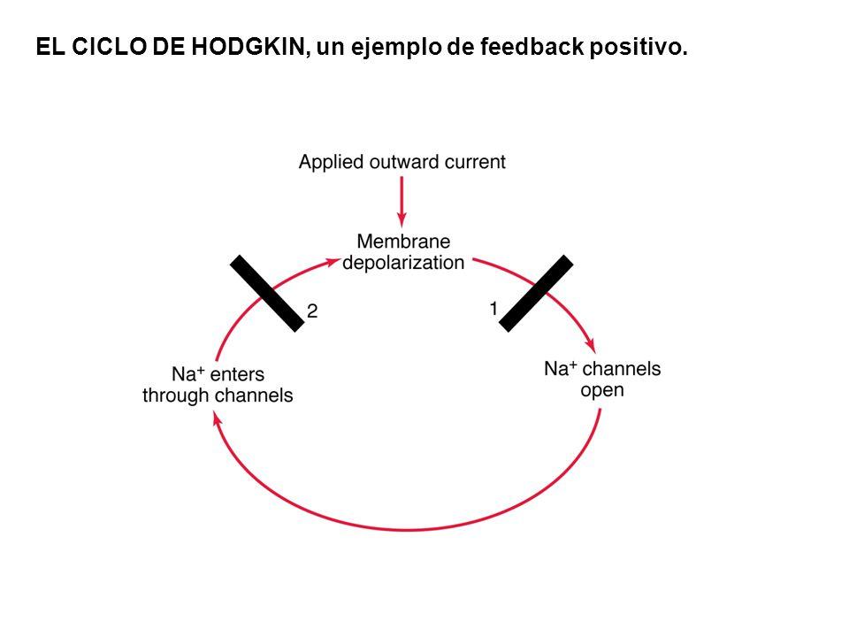 EL CICLO DE HODGKIN, un ejemplo de feedback positivo.
