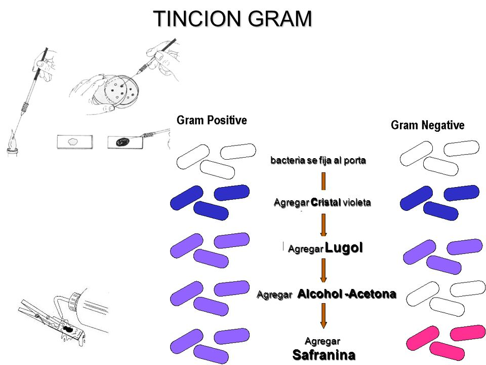 TINCION GRAM bacteria se fija al porta Agregar cristal violeta