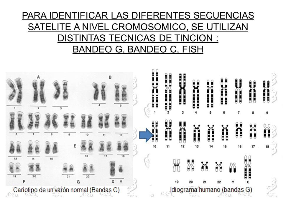 PARA IDENTIFICAR LAS DIFERENTES SECUENCIAS SATELITE A NIVEL CROMOSOMICO, SE UTILIZAN DISTINTAS TECNICAS DE TINCION :
