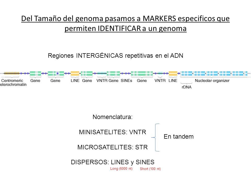 Del Tamaño del genoma pasamos a MARKERS especificos que permiten IDENTIFICAR a un genoma