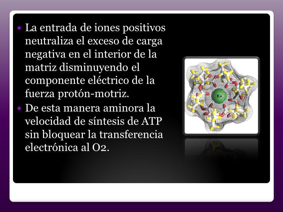 La entrada de iones positivos neutraliza el exceso de carga negativa en el interior de la matriz disminuyendo el componente eléctrico de la fuerza protón-motriz.