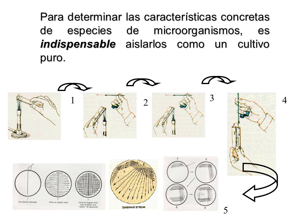 Para determinar las características concretas de especies de microorganismos, es indispensable aislarlos como un cultivo puro.
