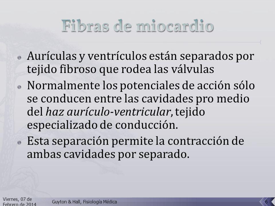 Fibras de miocardio Aurículas y ventrículos están separados por tejido fibroso que rodea las válvulas.