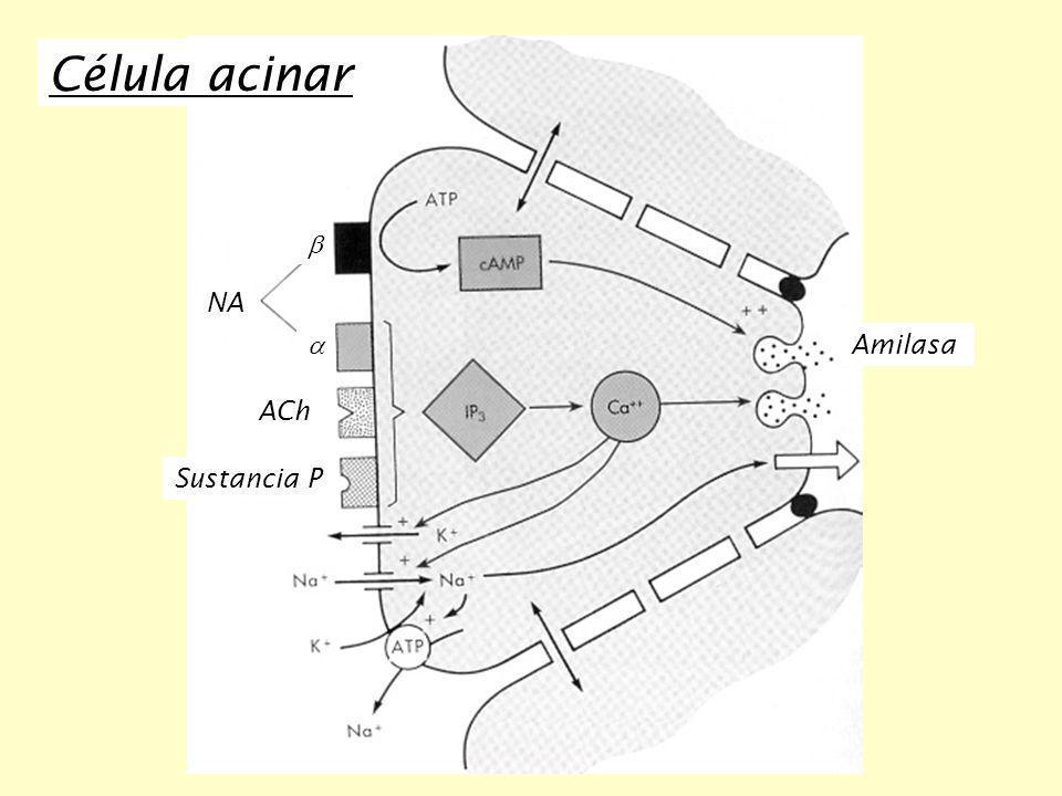 Célula acinar b NA a Amilasa ACh Sustancia P