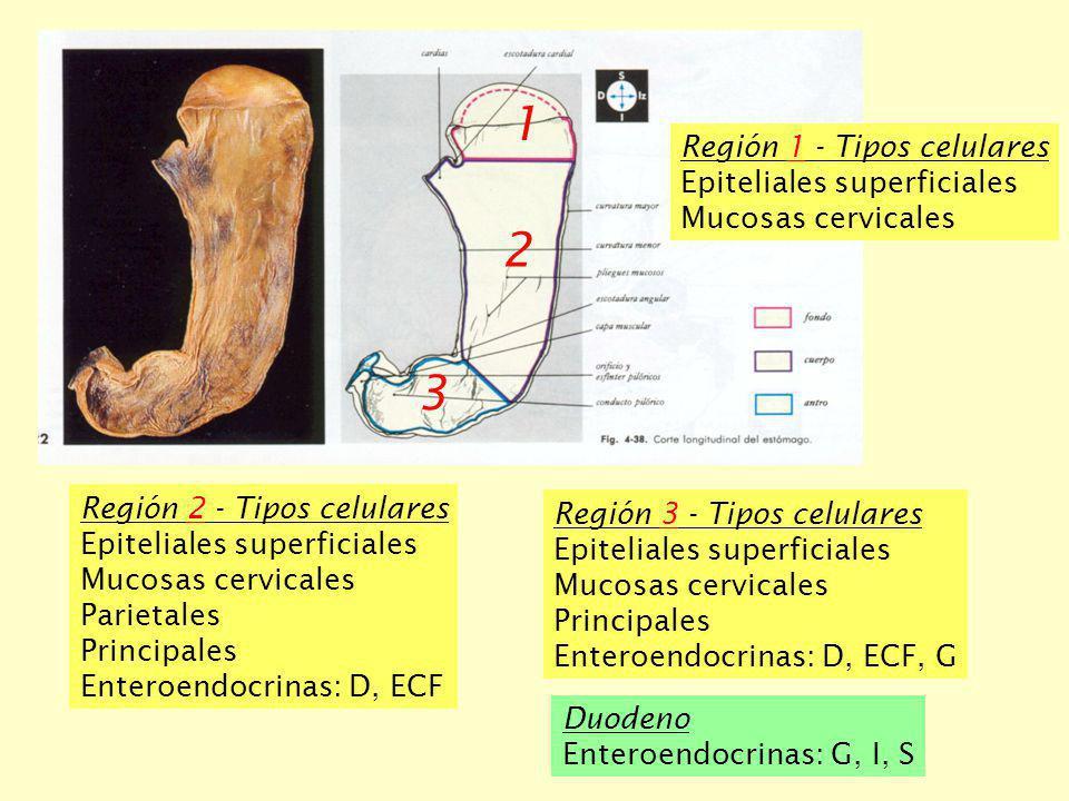 1 2 3 Región 1 - Tipos celulares Epiteliales superficiales