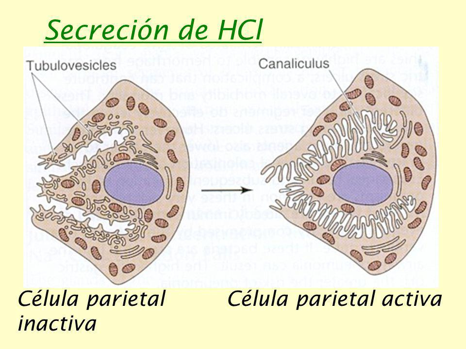 Secreción de HCl Célula parietal inactiva Célula parietal activa