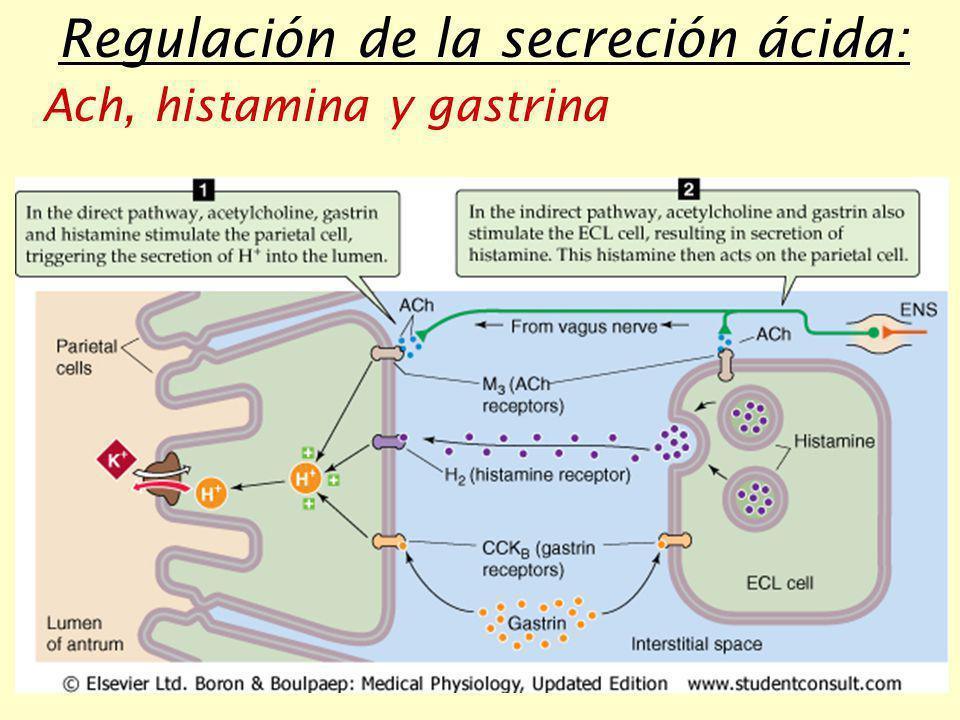 Regulación de la secreción ácida: