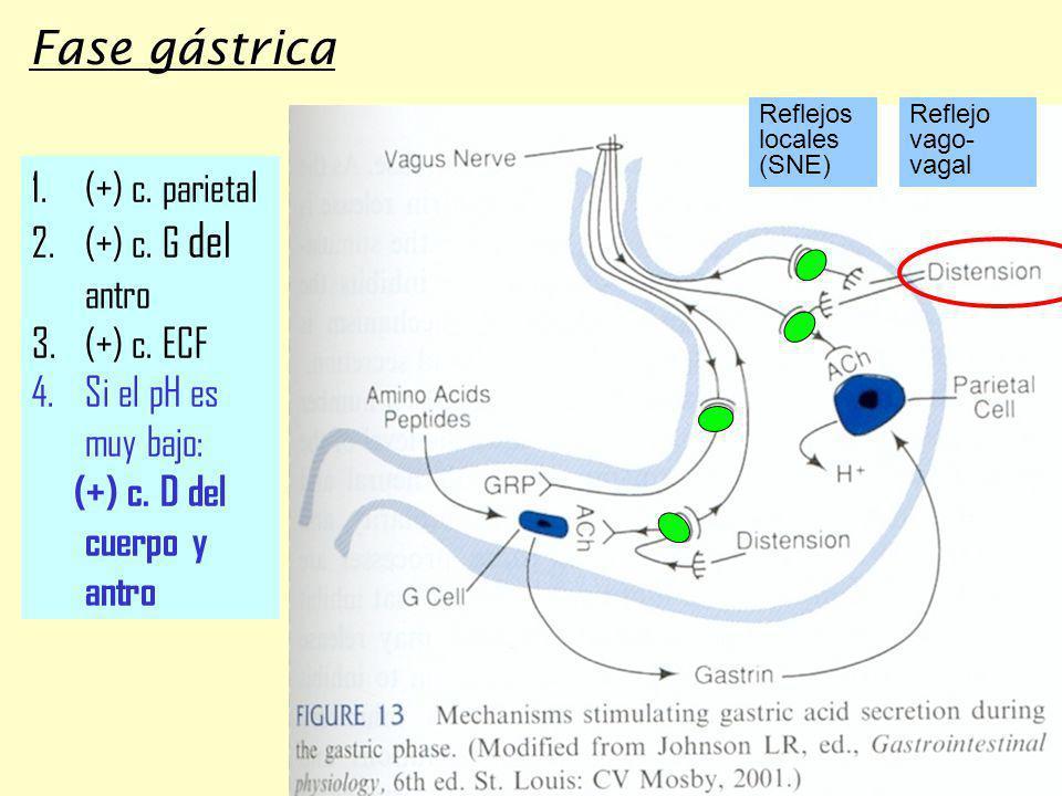 Fase gástrica (+) c. parietal (+) c. G del antro (+) c. ECF