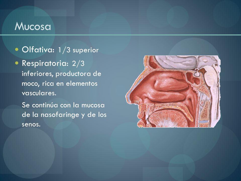 Mucosa Olfativa: 1/3 superior