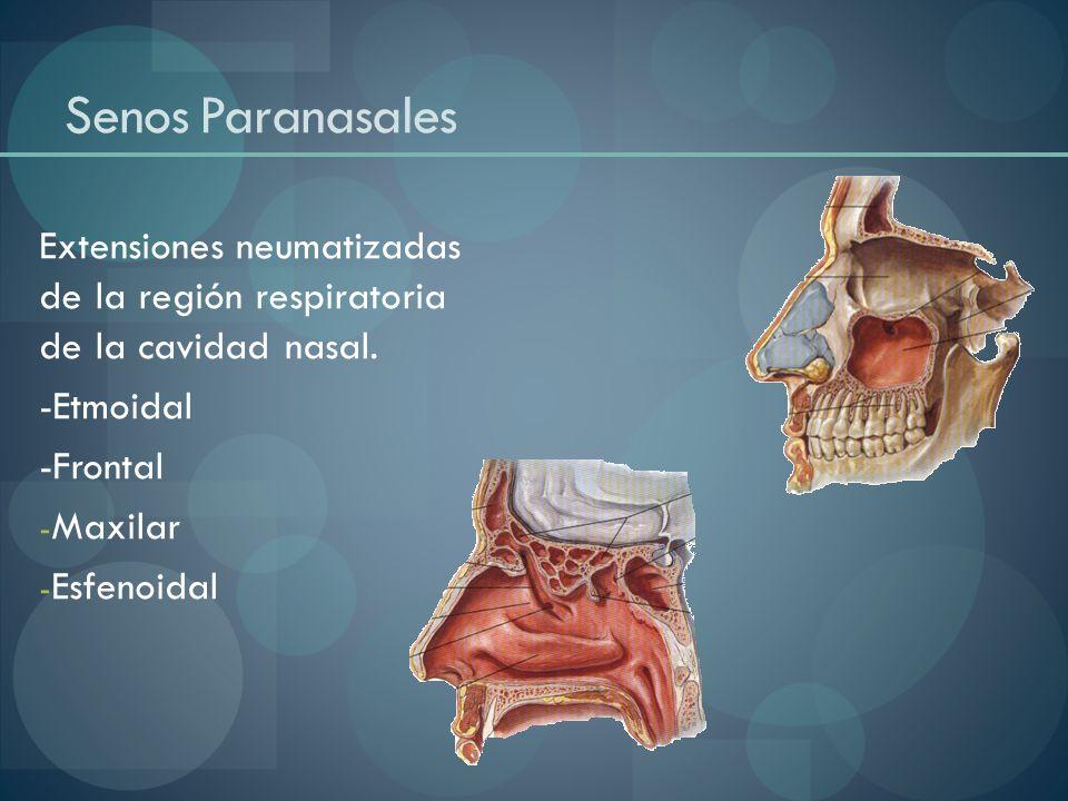 Senos Paranasales Extensiones neumatizadas de la región respiratoria de la cavidad nasal. -Etmoidal.