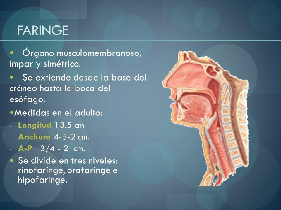 FARINGE Órgano musculomembranoso, impar y simétrico.