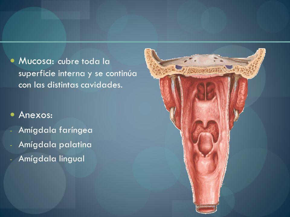 Mucosa: cubre toda la superficie interna y se continúa con las distintas cavidades.