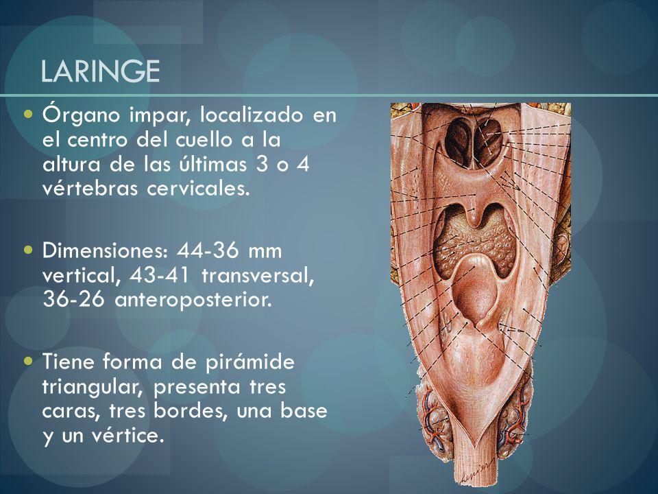 LARINGEÓrgano impar, localizado en el centro del cuello a la altura de las últimas 3 o 4 vértebras cervicales.