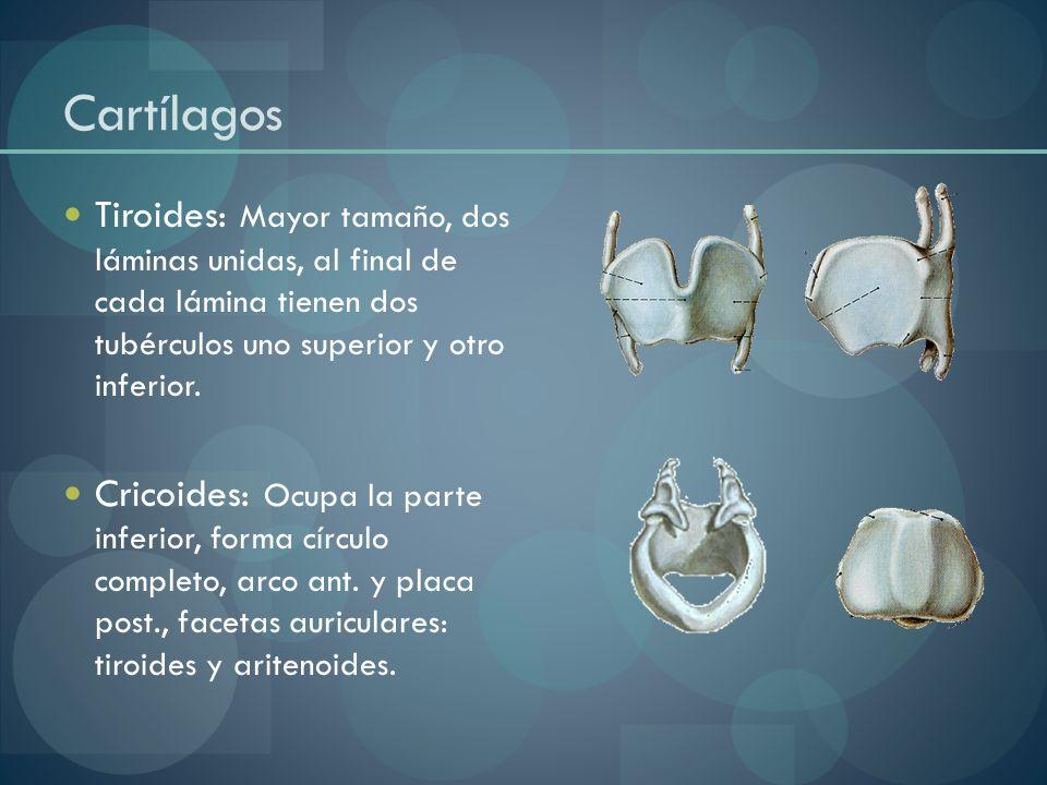 Cartílagos Tiroides: Mayor tamaño, dos láminas unidas, al final de cada lámina tienen dos tubérculos uno superior y otro inferior.