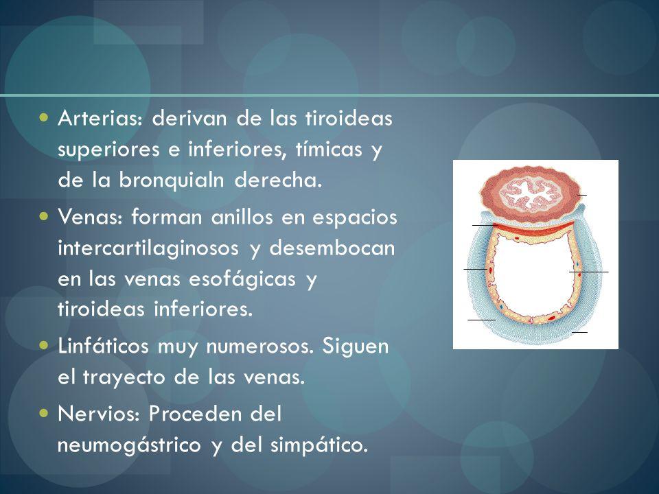 Arterias: derivan de las tiroideas superiores e inferiores, tímicas y de la bronquialn derecha.