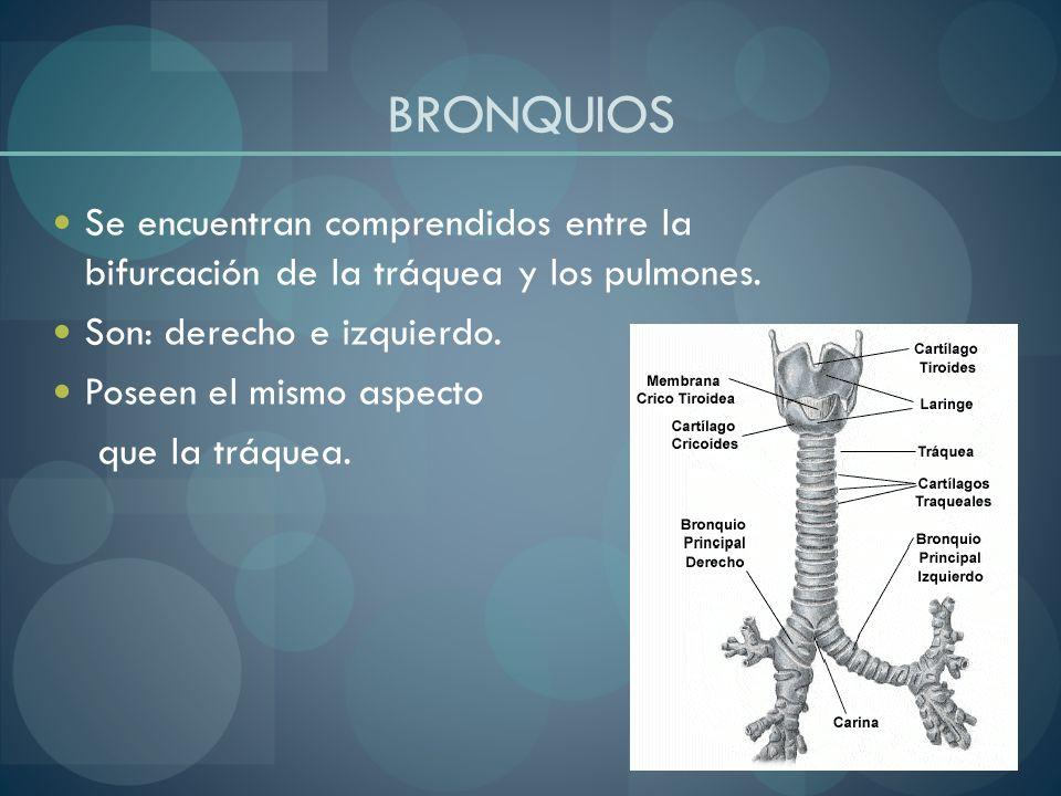 BRONQUIOSSe encuentran comprendidos entre la bifurcación de la tráquea y los pulmones. Son: derecho e izquierdo.