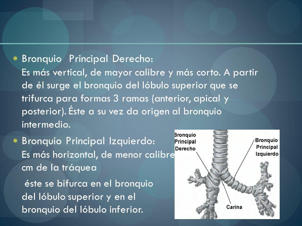 Bronquio Principal Derecho: Es más vertical, de mayor calibre y más corto. A partir de él surge el bronquio del lóbulo superior que se trifurca para formas 3 ramas (anterior, apical y posterior). Éste a su vez da origen al bronquio intermedio.