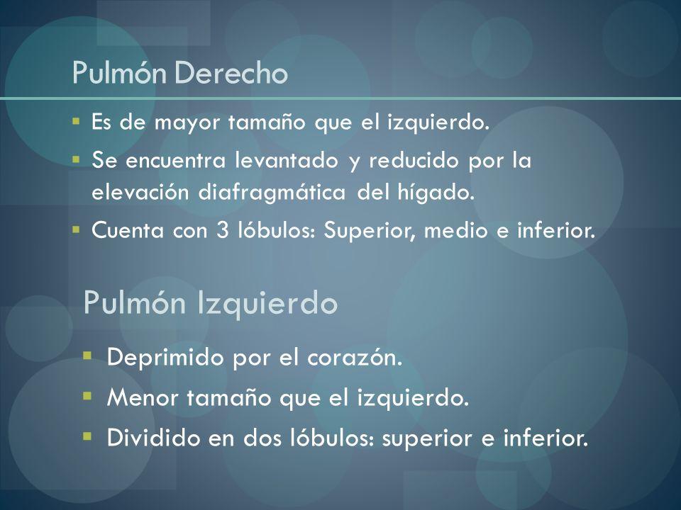 Pulmón Izquierdo Pulmón Derecho Deprimido por el corazón.