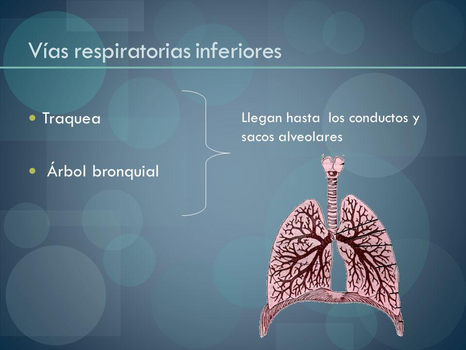 Vías respiratorias inferiores