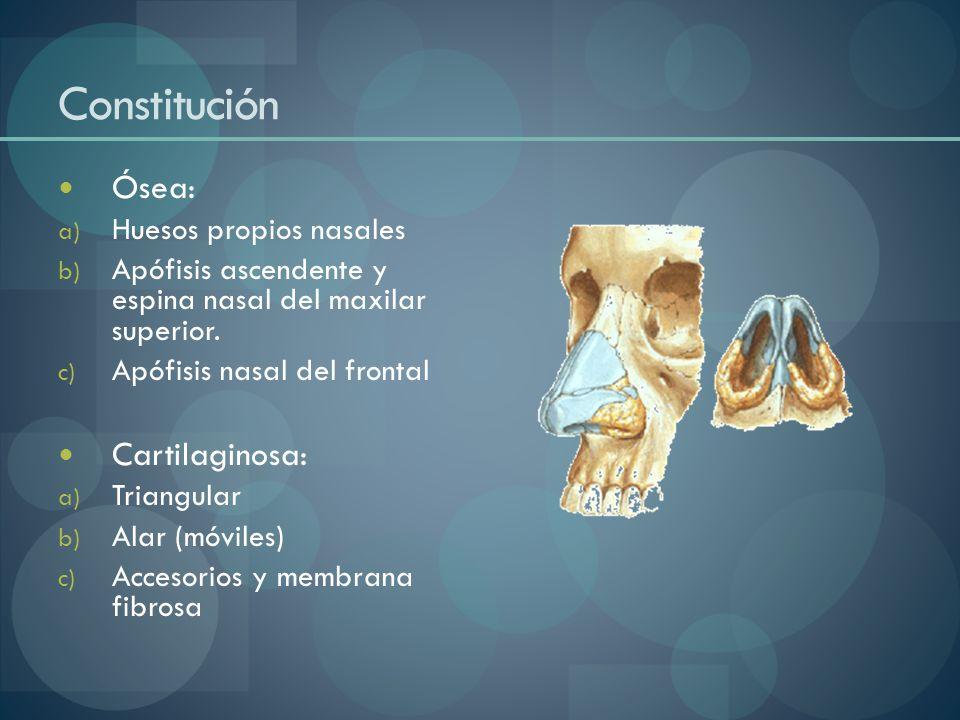 Constitución Ósea: Cartilaginosa: Huesos propios nasales