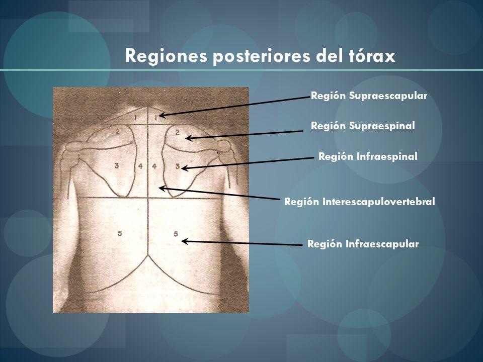 Regiones posteriores del tórax