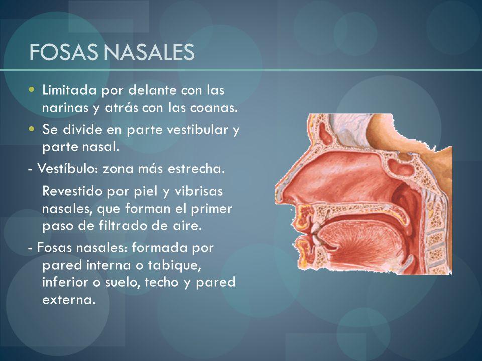 FOSAS NASALESLimitada por delante con las narinas y atrás con las coanas. Se divide en parte vestibular y parte nasal.