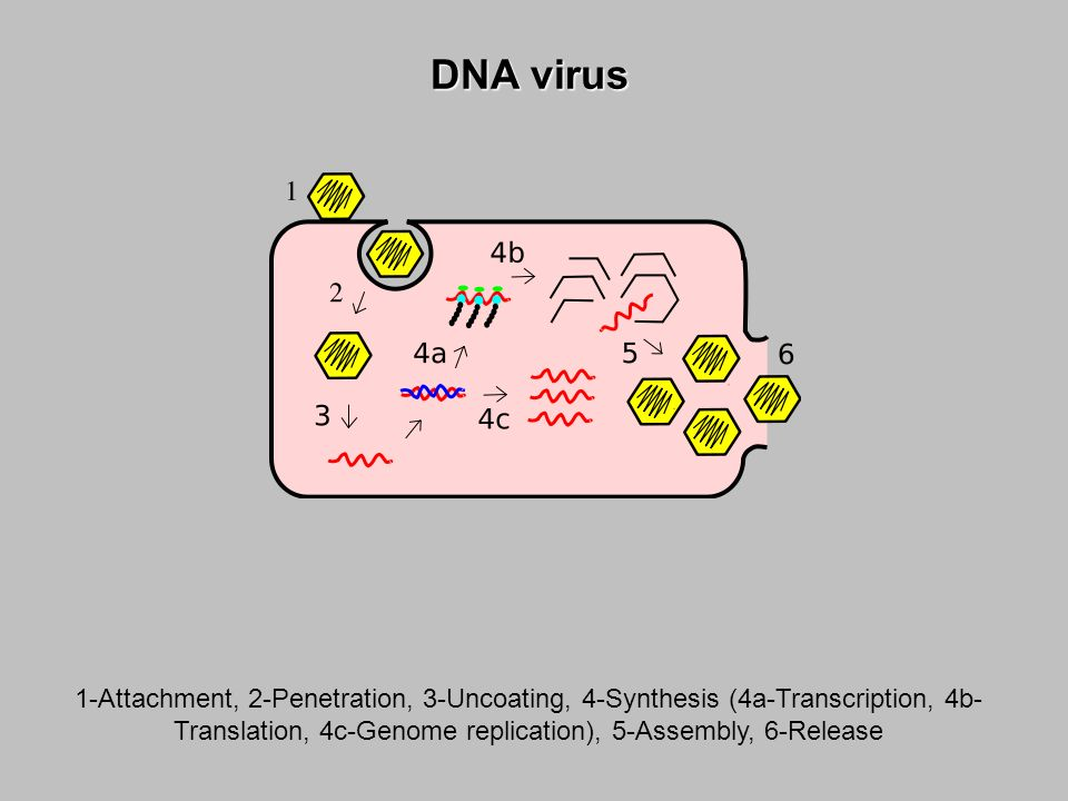 DNA virus 1-Attachment, 2-Penetration, 3-Uncoating, 4-Synthesis (4a-Transcription, 4b-Translation, 4c-Genome replication), 5-Assembly, 6-Release.