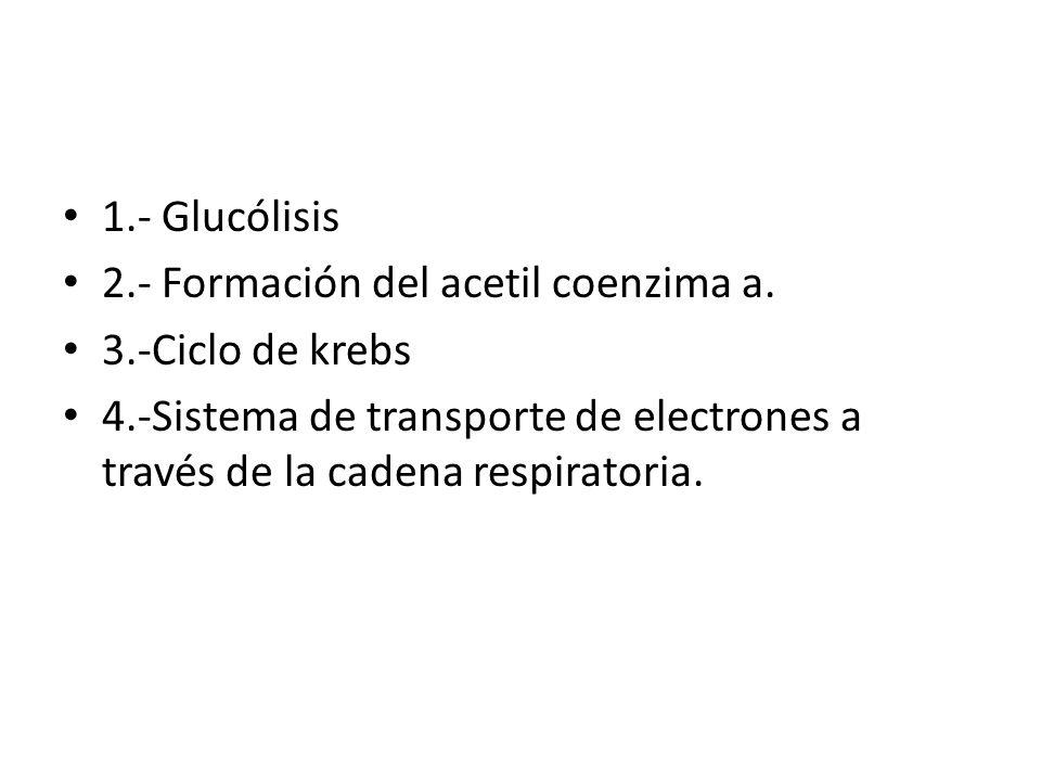 1.- Glucólisis 2.- Formación del acetil coenzima a.