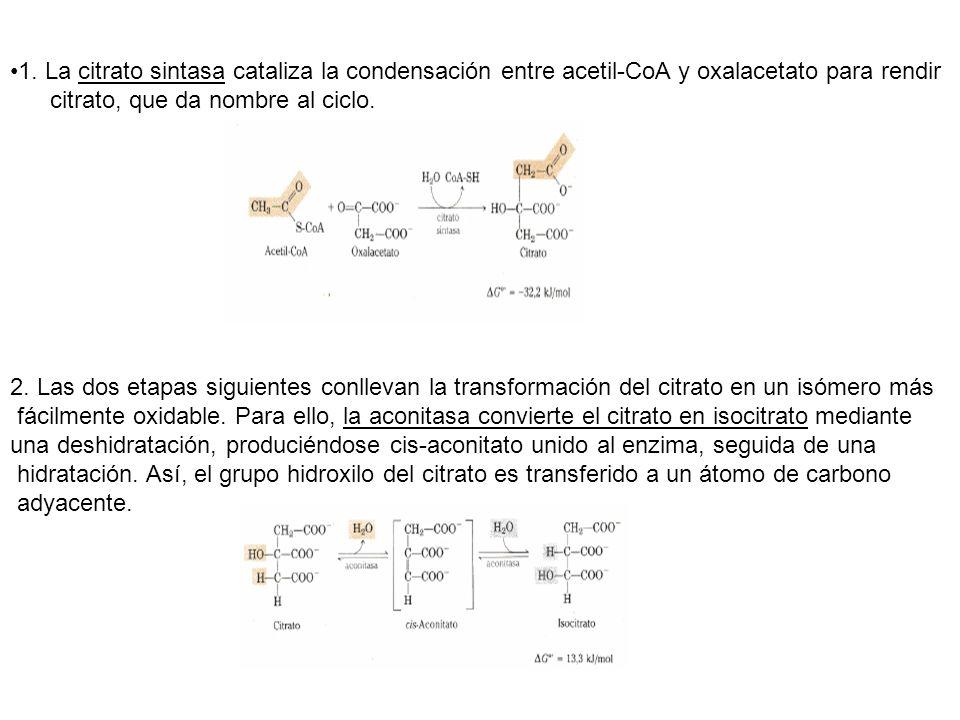 1. La citrato sintasa cataliza la condensación entre acetil-CoA y oxalacetato para rendir