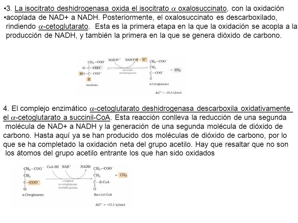 3. La isocitrato deshidrogenasa oxida el isocitrato a oxalosuccinato, con la oxidación
