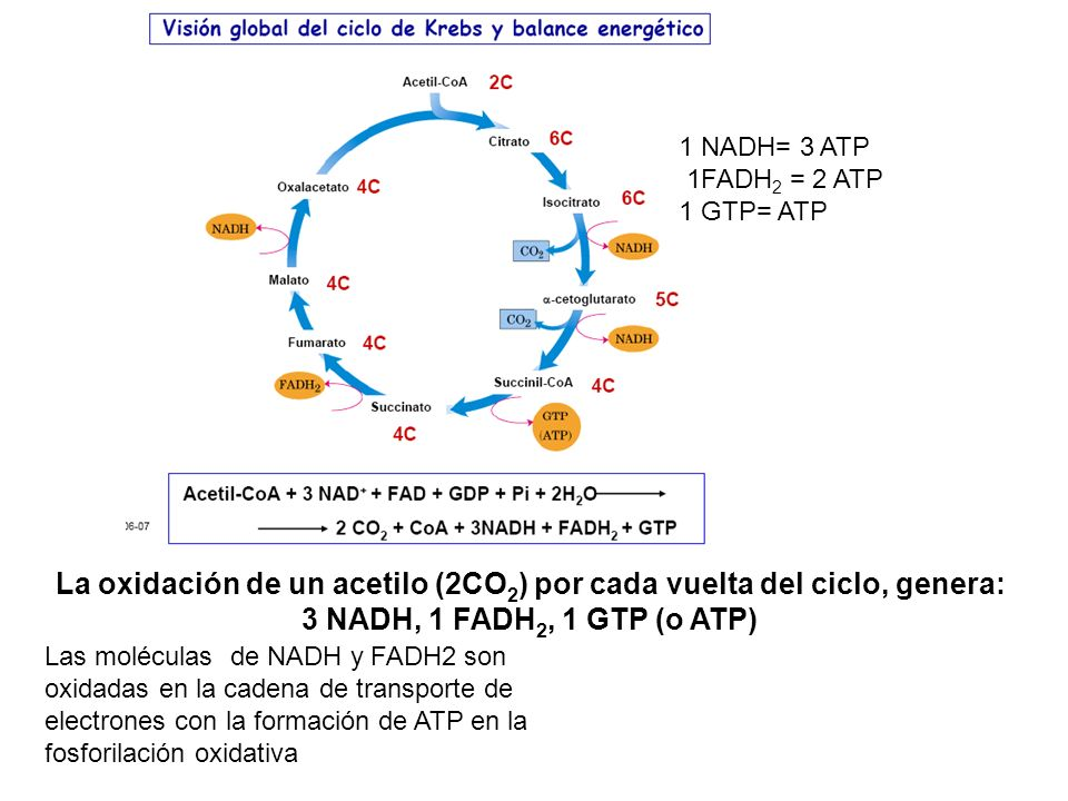 1 NADH= 3 ATP 1FADH2 = 2 ATP. 1 GTP= ATP. La oxidación de un acetilo (2CO2) por cada vuelta del ciclo, genera: 3 NADH, 1 FADH2, 1 GTP (o ATP)
