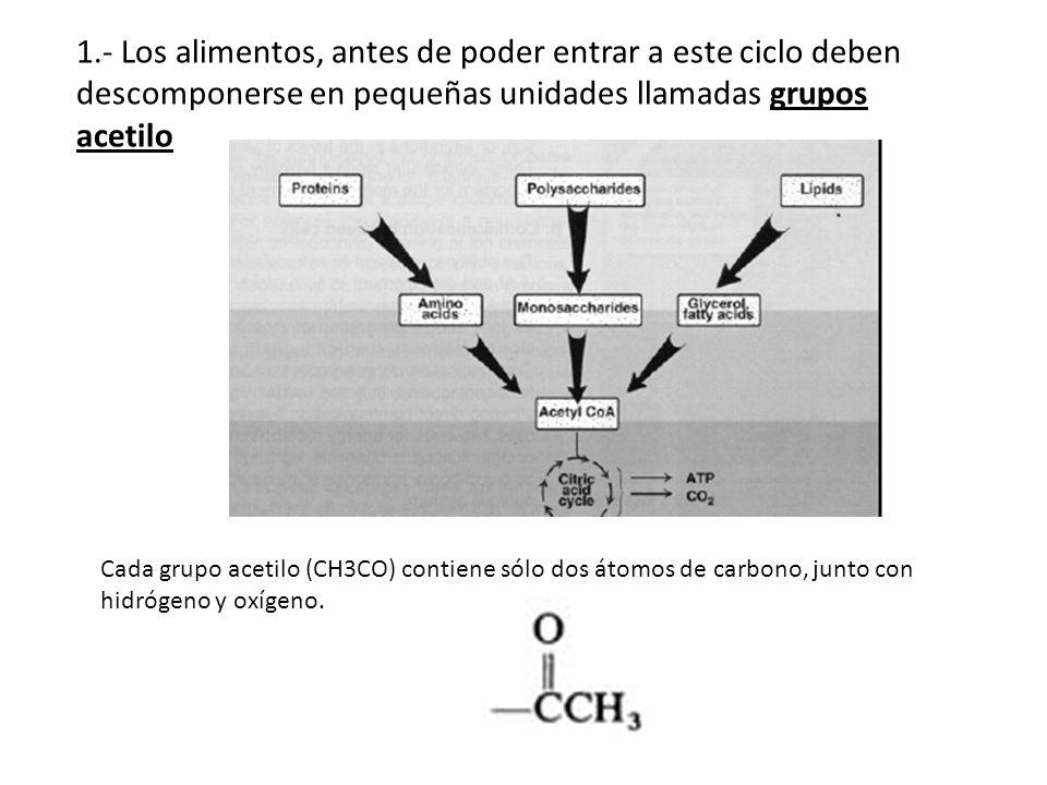 1.- Los alimentos, antes de poder entrar a este ciclo deben descomponerse en pequeñas unidades llamadas grupos acetilo