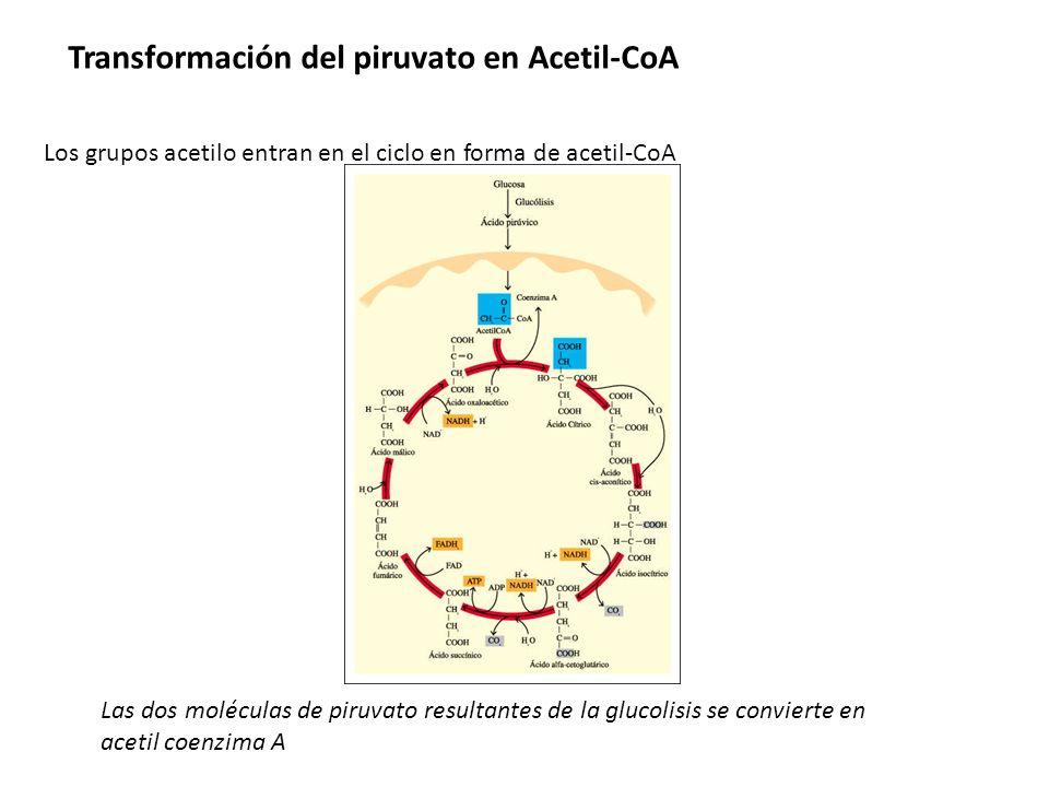 Transformación del piruvato en Acetil-CoA