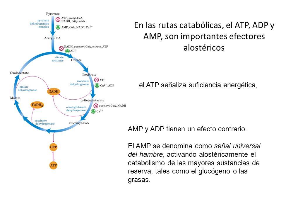 En las rutas catabólicas, el ATP, ADP y AMP, son importantes efectores alostéricos