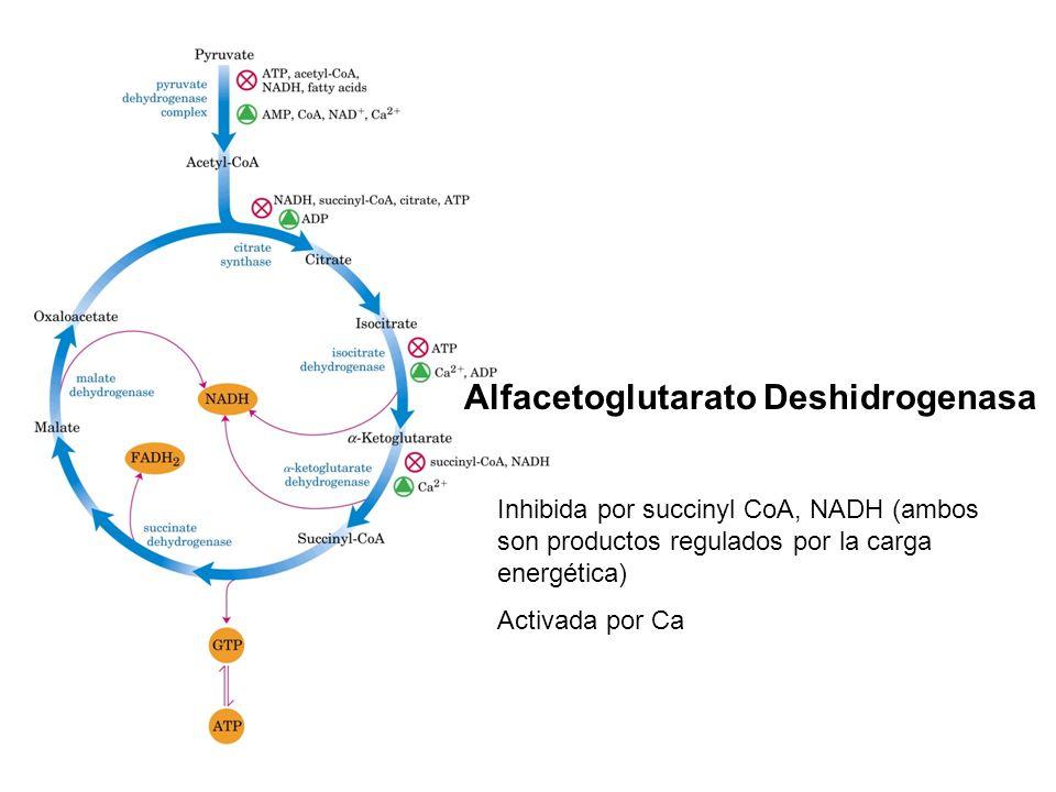 Alfacetoglutarato Deshidrogenasa