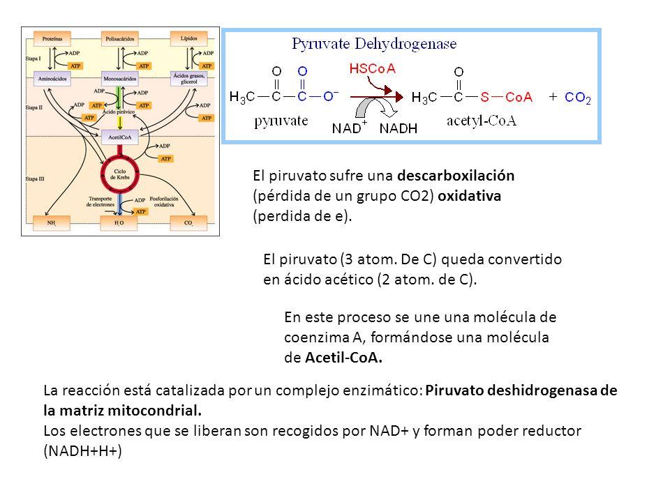 El piruvato sufre una descarboxilación (pérdida de un grupo CO2) oxidativa (perdida de e).