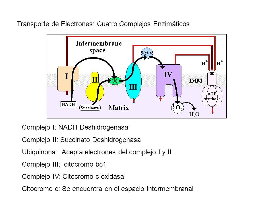 Transporte de Electrones: Cuatro Complejos Enzimáticos