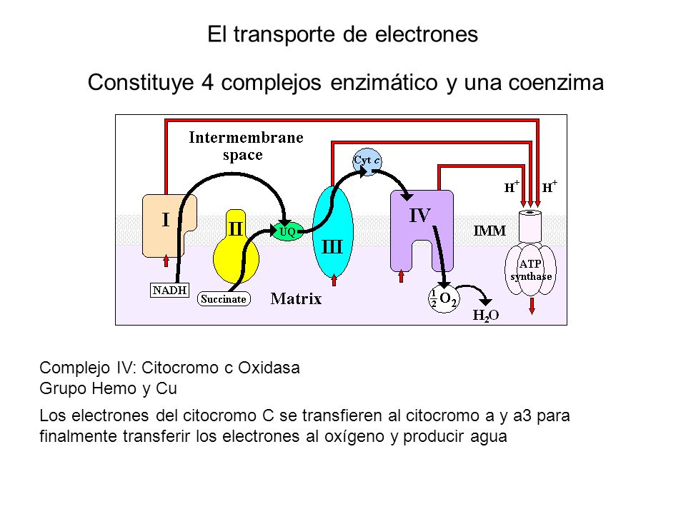 El transporte de electrones