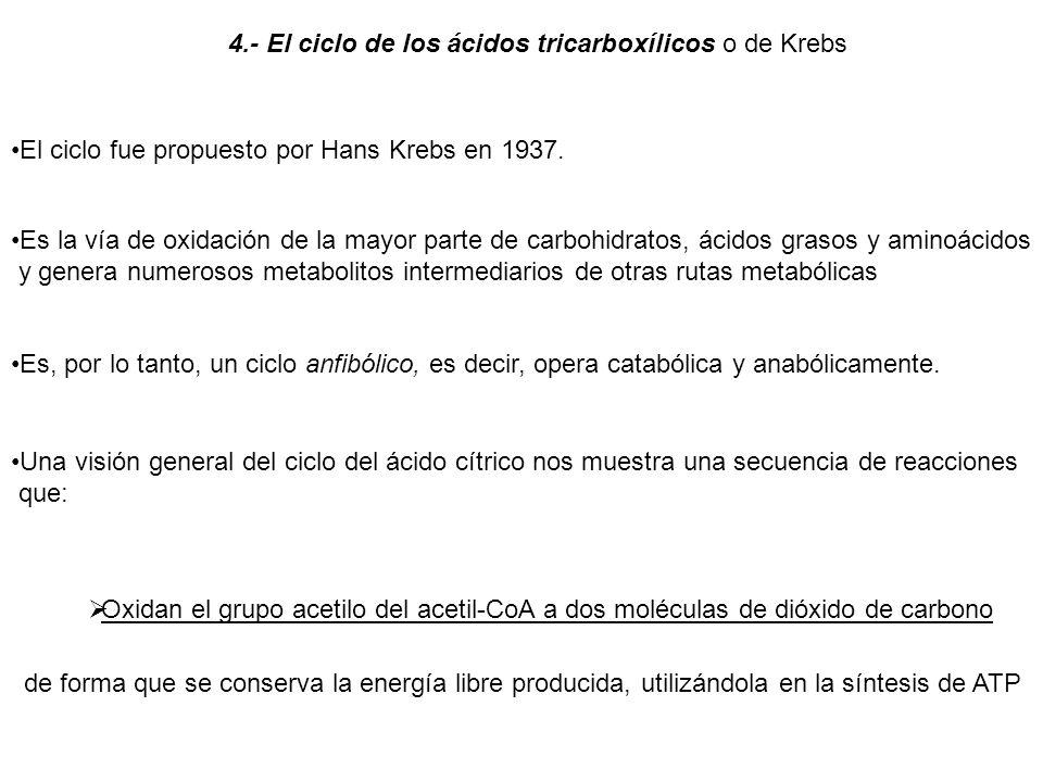 4.- El ciclo de los ácidos tricarboxílicos o de Krebs