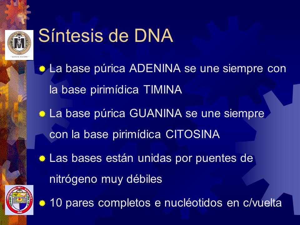 Síntesis de DNA La base púrica ADENINA se une siempre con la base pirimídica TIMINA.